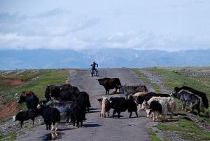 Yakok az úton Yaks on the road