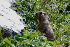 Mormota, nagyon aranyos jószág / Mormot, really funny little anymals