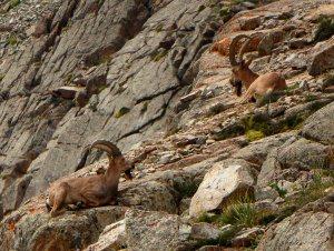 Kőszáli kecskék / Mountain goats