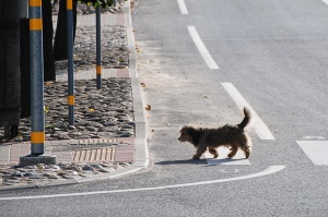 Latviában még a kutya is tudja hol kell átmenni az úttesten / In Latvia even the dog knows where to cross the road.
