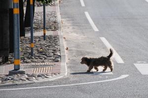 Latviában még a kutya is tudja hol kell átmenni az úttesten / In Latvia even the dog knows where to cross the road.